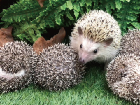 hedgehog01s